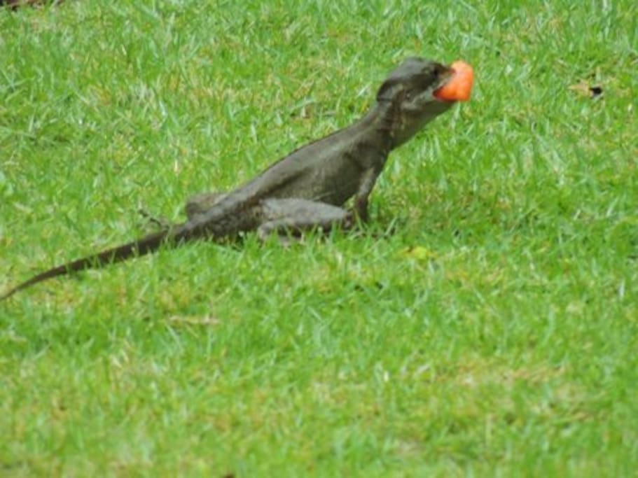 visiting critter eating some papaya