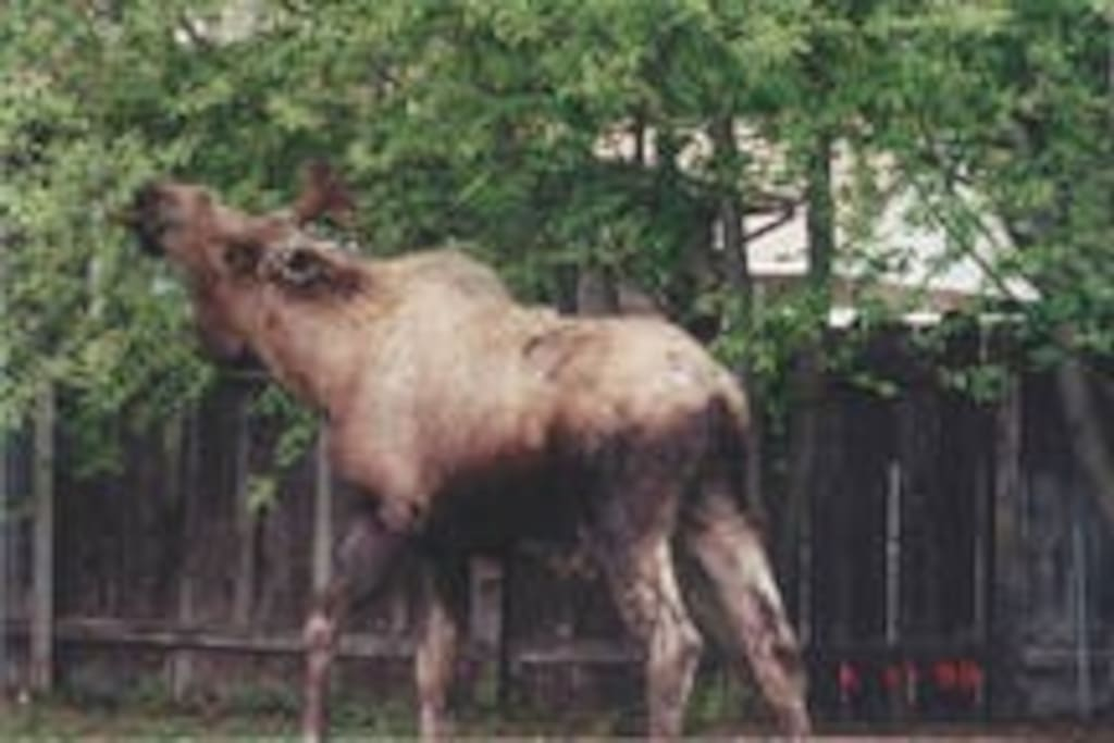 Moose in our yard