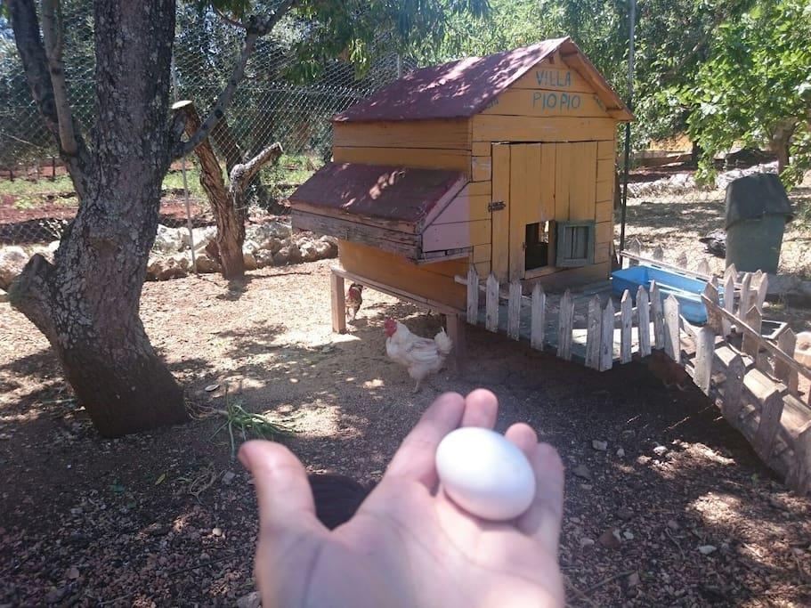 Piccola aia per l'uovo fresco ogni mattina