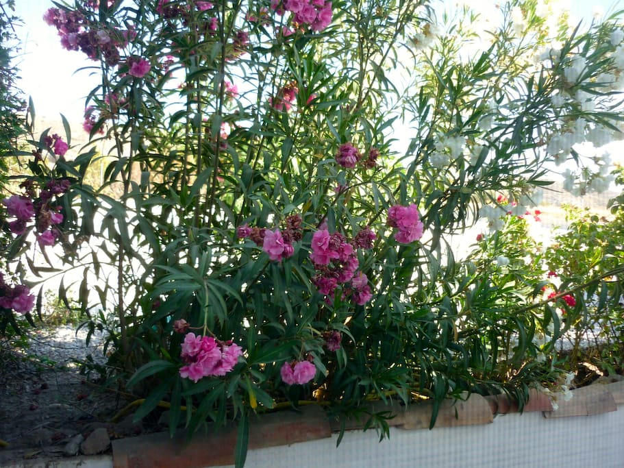 Oleander along your private terrace.