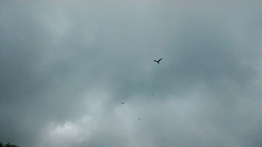 Red Kites flying overhead