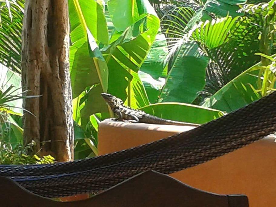 visita de una iguana
