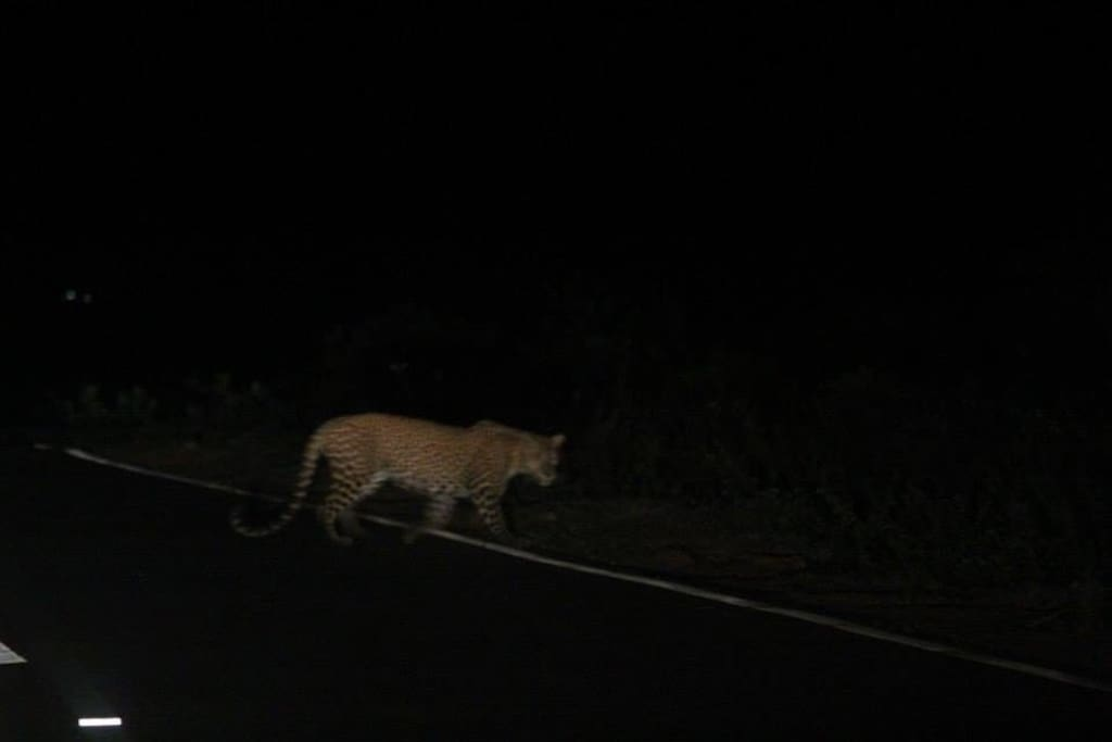 Leopard on the main road a few Km from the house