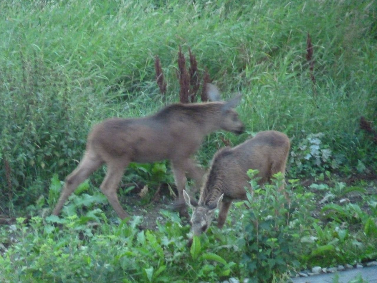 2 baby elg born last year in our garden.