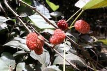 Berries in season