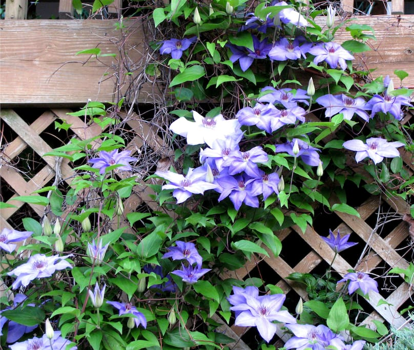 Clematis on deck