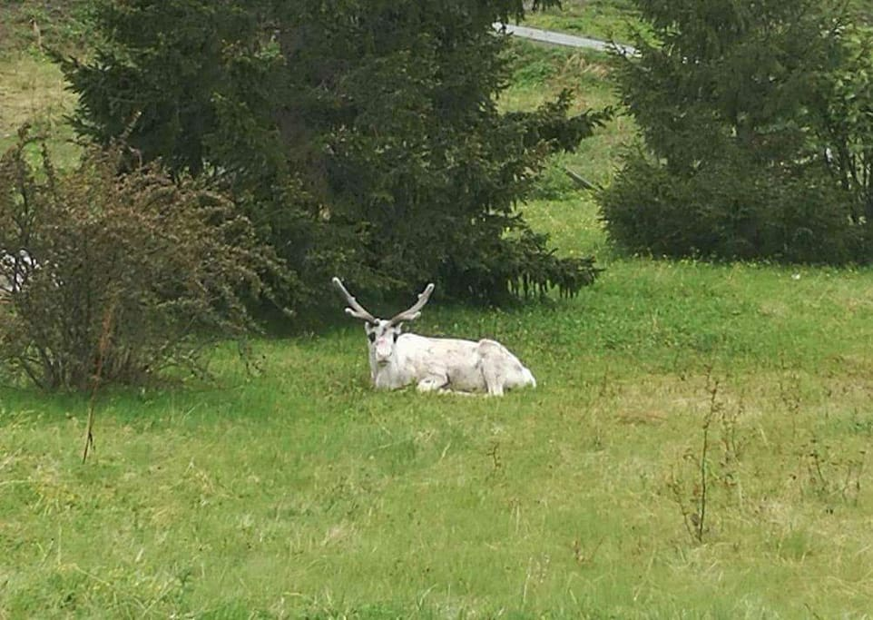 A white reindeer visiting our garden.