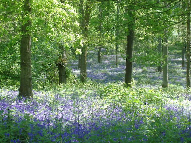 Forest of Dean Bluebells.   Mid-April & Late May