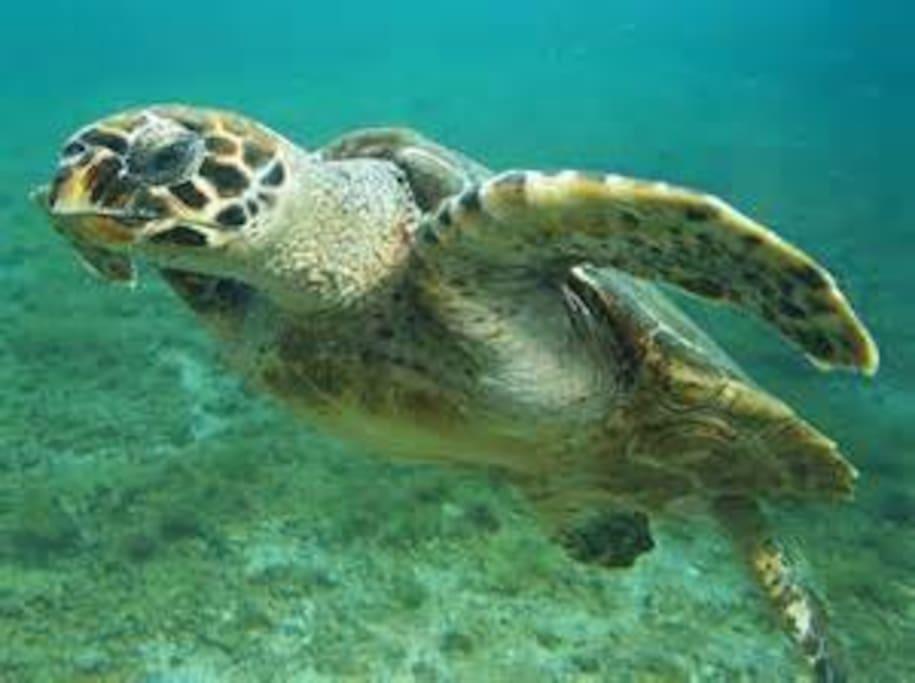 A partir du mois de mai vous pourrez observer les tortues marines qui viennent pondre sur nos plages elles sont toujours fidèles!