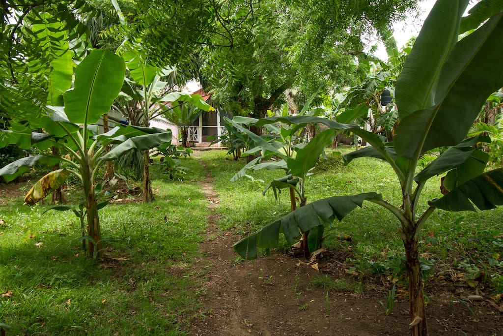 Enter through a mini forest of banana and plantain trees.