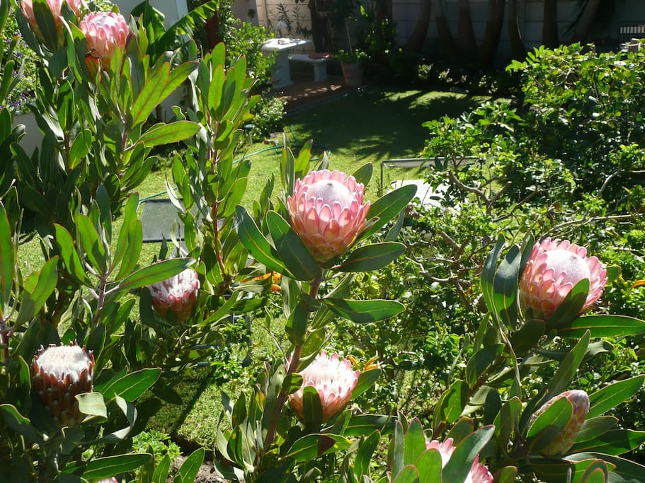unsere Protea