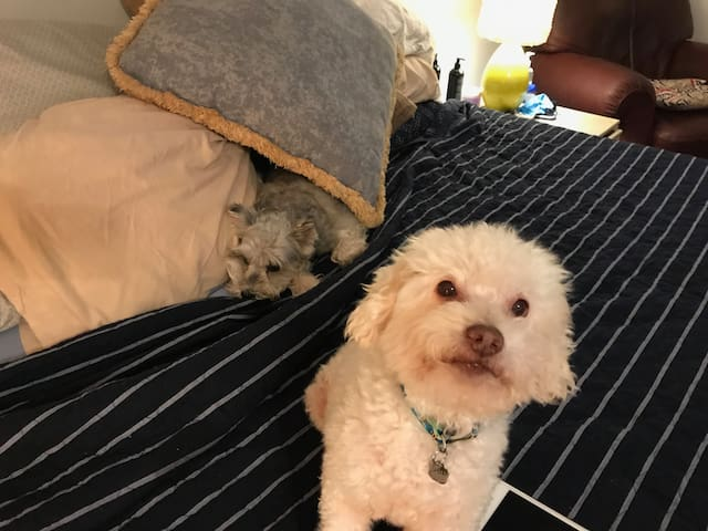 This is JayJay our adorable rescue poodle and his sister Lela!