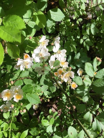 Wild roses line the dirt road.