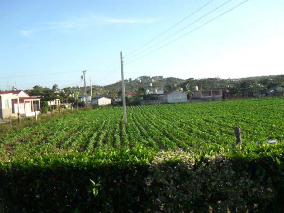 Vista a plantaciones de Tabaco