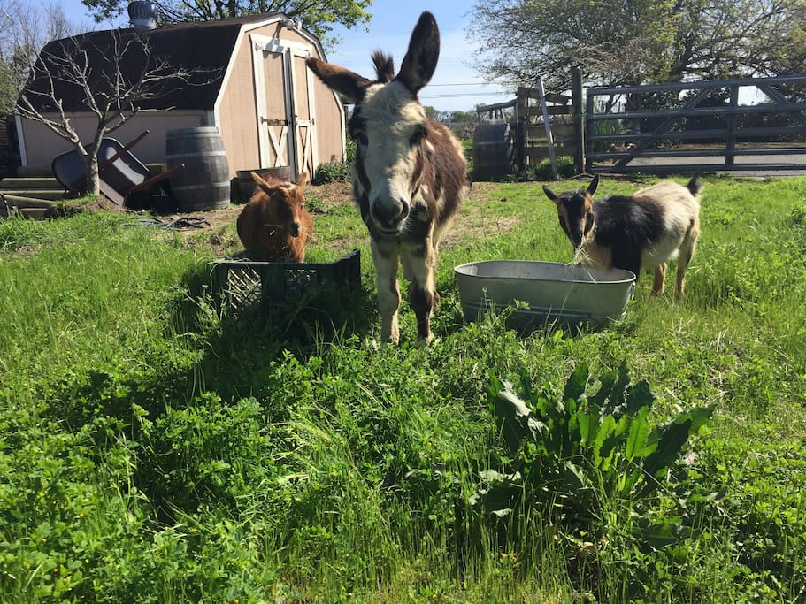 Dolce (our mini donkey), Chapi and Chou (Nigerian dwarf goats) welcome you!