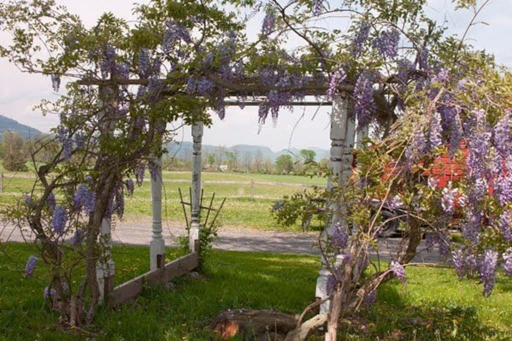 Our 150 year old Wysteria