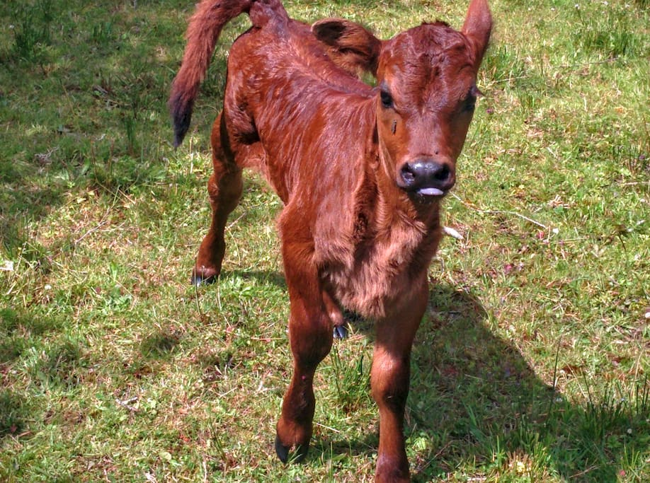 New calf June 2016!