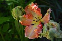 Parrot tulips in the garden.