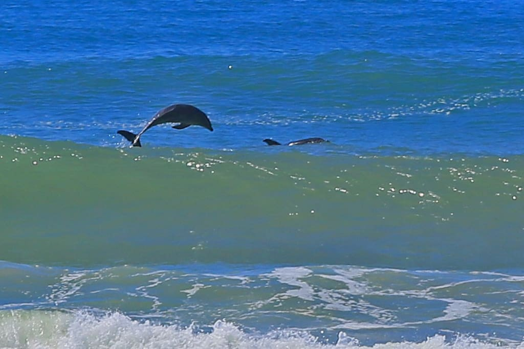 Dolphins breaching right in front of The Beach House