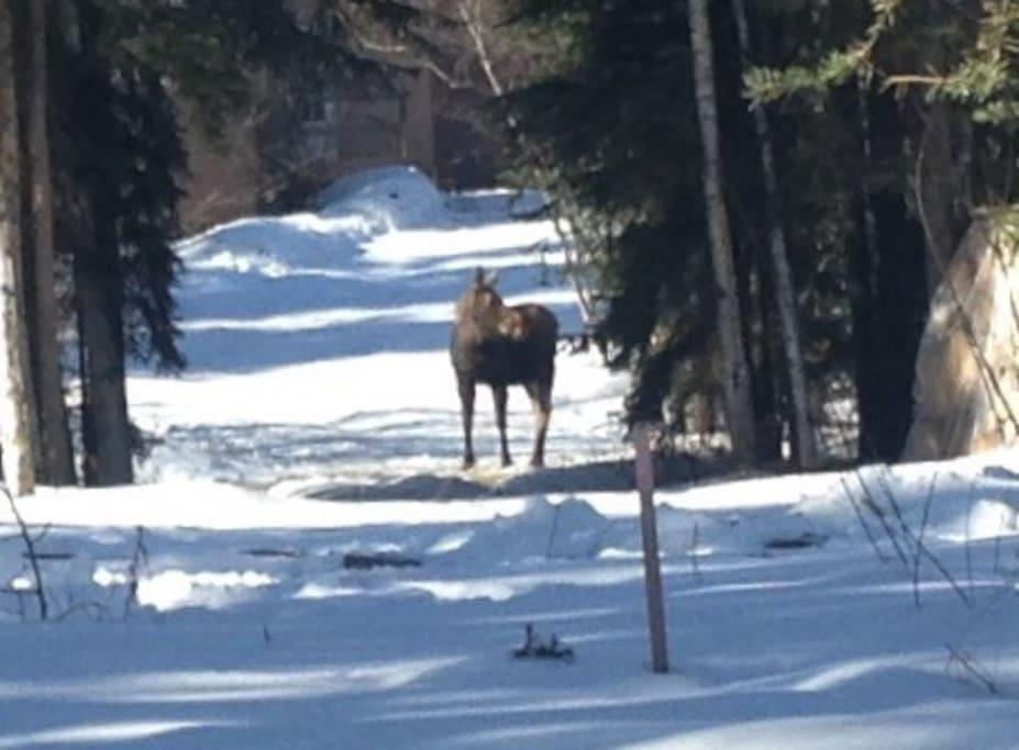 Marti, the neighborhood moose, making a trek through our yard.