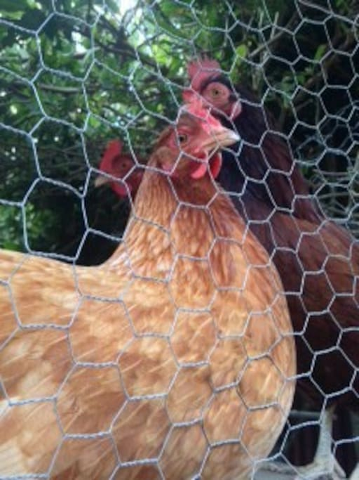 A new friend in the garden~Helena the hen.
