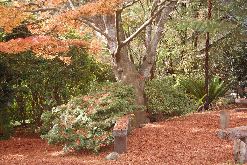 Japanese maple next to Cottage in autumn