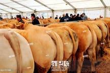 Festival bœuf gras de Pâques