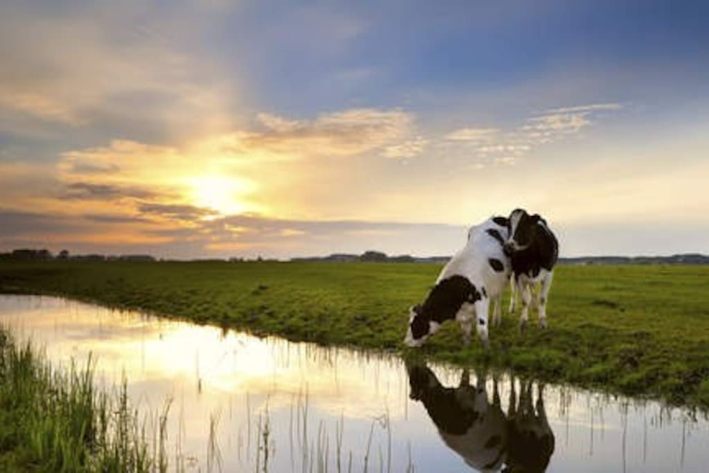 Cow grazing near a ditch at dawn in your back yard!