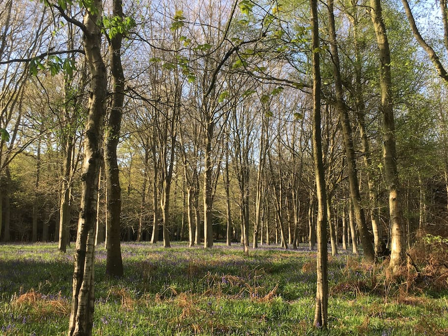 Bluebells in the nearby woods