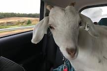 Billy our  Saanen friendly goat