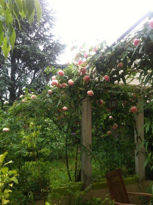 Le rosier Pierre de Ronsard au joli mois de mai.