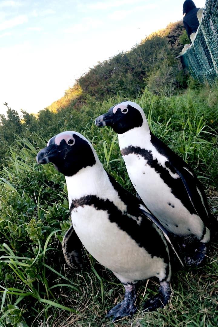 Meet Jackass Penguins of Cape Peninsula