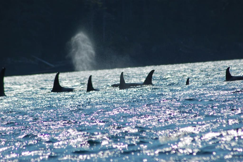 Orca's out on the water