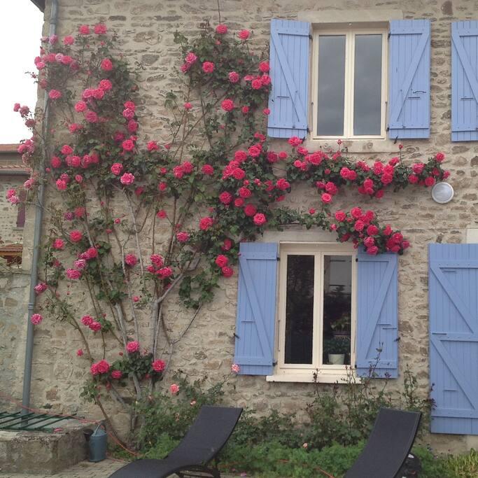 de belles roses fleurissent tout l'été