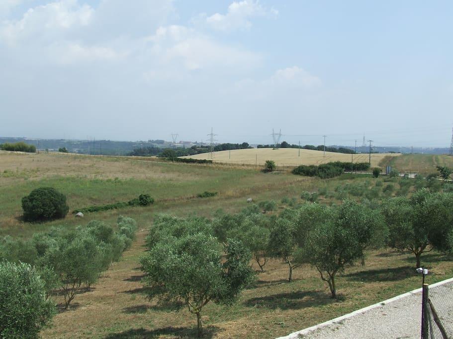 oliveto biologico