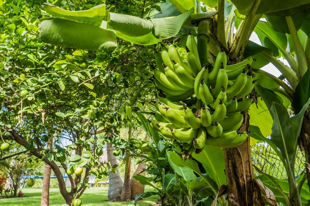 In season, you can pick bananas, star fruit, limes, and oranges