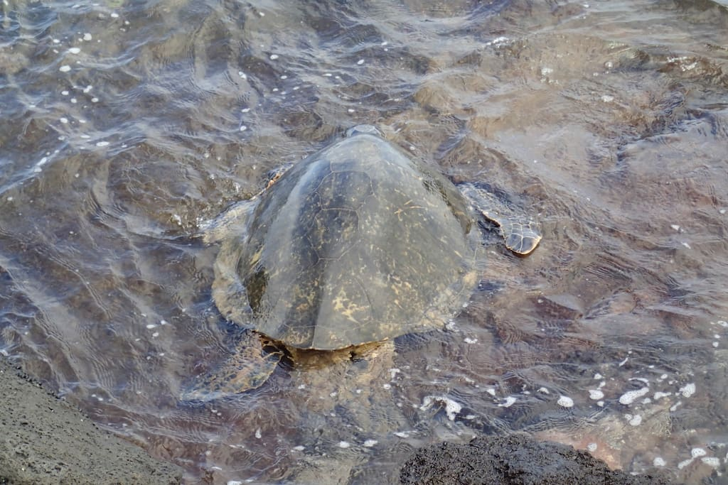Green Sea Turtles are regular visitors to the shores of the Mahina Surf