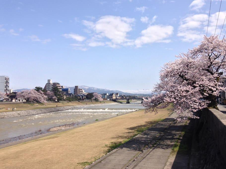 sakura in the river