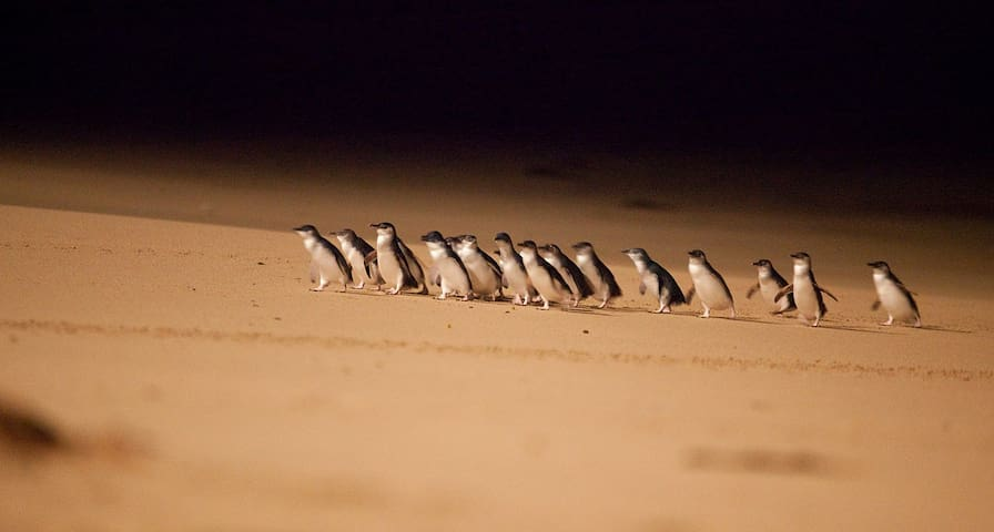 1 hour by car: This is a must! Witness the penguin march on beautiful Phillip Island.