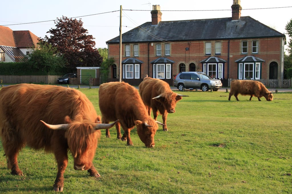 Longhorn cattle grazing on Waters Green in front of cottage