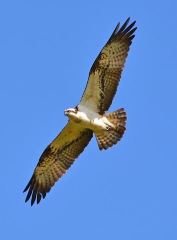 A resident Osprey in mid flight.