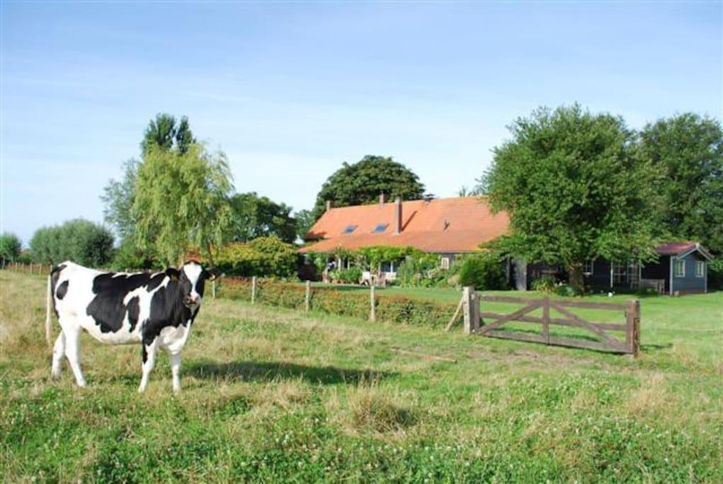 Landelijke plek met koetjes tot het hek!