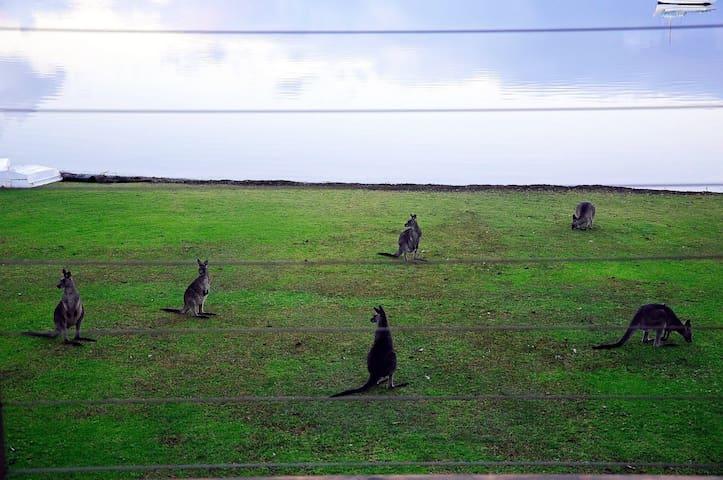 kangaroos in the backyard