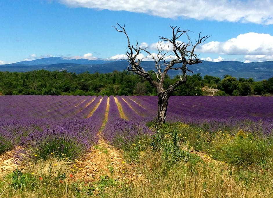 Lavender fields as can be seen from the kitchen and bed rooms