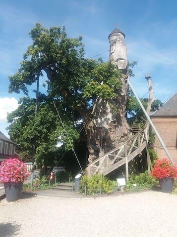 Chêne  Allouville Bellefosse