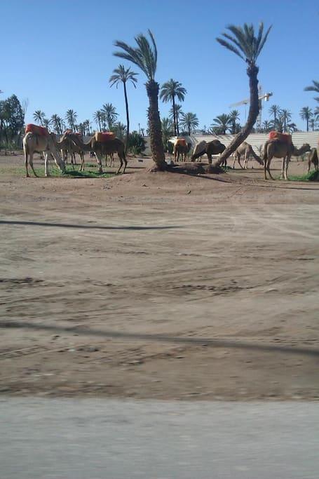 Kameler i Palmeri