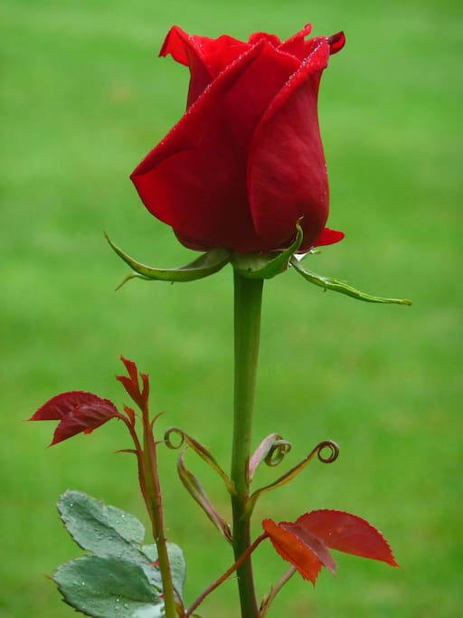rose bud in our garden.