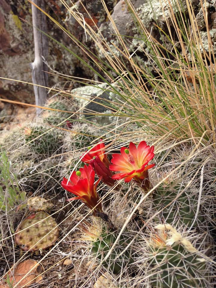 Cacti bloom on the trail in summer
