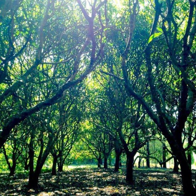 The magical mango grove
