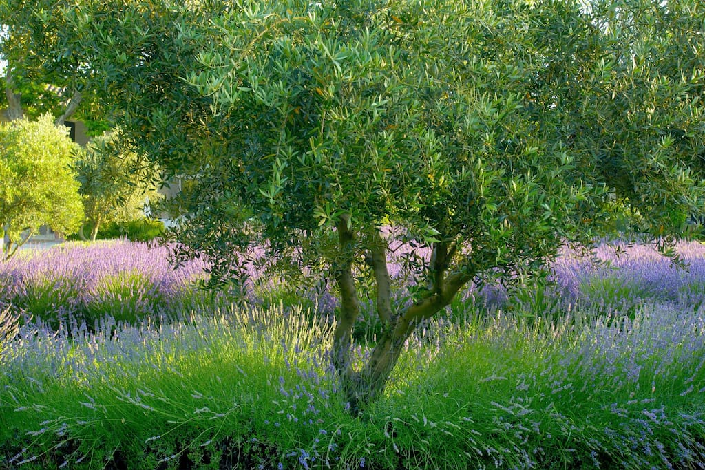 Lavender  Scents the Air